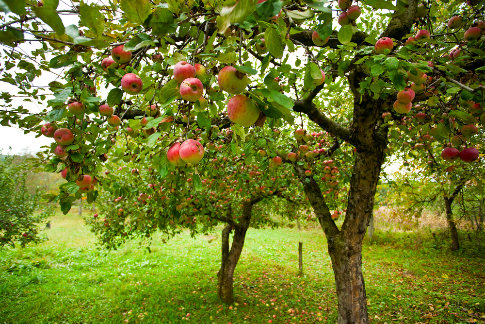 A Brief History On The Woodsmall Apple Orchard Cindy